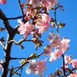 河津桜ヽ(´▽`)ノ