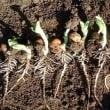 ソラマメは150株を栽培