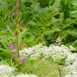 「花の百名山」で紹介された、霧ヶ峰・八島湿原のヤナギランをガイドする。