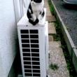 近所の白黒の猫