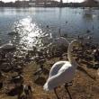 茨城県水戸市大塚池公園2017年の初冬・・水鳥
