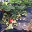 まだまだイチゴは楽しめそう(Blog576)