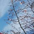 花~寒桜&梅&河津桜