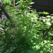 鳥足升麻(とりあししょうま)*庭に植えたい野草