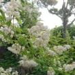 空木(うつぎ=卯の花)2種