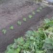 キヌサヤエンドウ豆「定植」