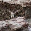 10/19探鳥記録写真(狩尾岬の鳥たち:キアシシギ、イソシギほか)