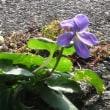アスファルトの隙間で早くも開花  リュウキュウコスミレ