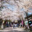 谷汲山門前の桜