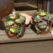 多肉ブリキの寄せ植えを作る!
