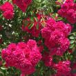 薔薇も色々…