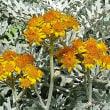 ポエム169 『凍てつく白妙菊』