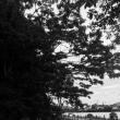 黒い心臓の木