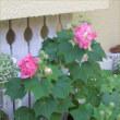 キミは大輪のバラのよう!