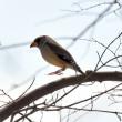 探鳥・・・コイカル (相模原麻溝公園) 3月17日 ☆たまたま通りかかり、参加させて頂きました。