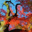 紅葉点景:燦爛の幹