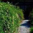 京都出町柳の常林寺の萩