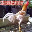 Sejarah Ayam laga Saipan, Ayam Liar Pulau Saipan