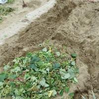 雨前にイモ掘り終える