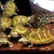 カブトニオイガメ、ミシシッピィニオイガメ甲長8cm前後