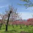 Prunus persica var. compressa ❛Akabana Banto❜