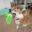 幼稚園体験にきてくれた【ロンちゃん】  犬のしつけ教室@アロハドギー