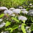 紫陽花の季節です
