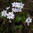 「春を待つ雪割草」