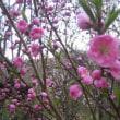 桜を見に。。。