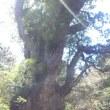 屋久島縄文杉の精霊へ 意識を集中させ 時空を自在に行き来して 過去・現在・未来 を視ます。