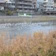 まち歩き下0613  鴨川に鳥の大群