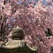 """奈良の""""千本桜"""""""