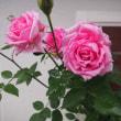 雨でバラが~~トホホ。。。♪(´д`A)