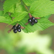 シロヤマブキの果実