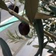 オリーブの実!収穫!
