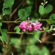 ヤマハギ開花