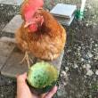 カラスに食べられたスイカを鶏に与える