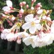 桜に思うこと