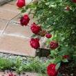 紅姫、日光、エアシャースプレンデンス、サンショウバラ、大分の野バラ