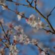 埼玉県神川町、城峯山の冬桜です!!