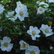 ナニワイバラが咲きました、、、、、、と、真空管アンプ