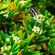 『大磯の植生』 トベラ