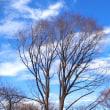 椿 と 枯れ葉 と 白い雲