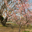 富士見町の桜・・・時は春だ。2018/03/13