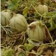 メロン(マルセイユ)づくり初挑戦の巻【収穫シーズン到来...\(^o^)/バンザーイ 】