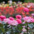 与野公園の春薔薇も満開2018