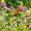色付かない紅ガク紫陽花と咲き進む宿根草