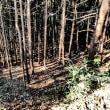 『鷹取山・里のみち』 杉林