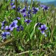 堤防の土手には野生の紫スミレもたくさん咲いています。 (Photo No.14414)