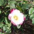 バラを見に~旧古河庭園